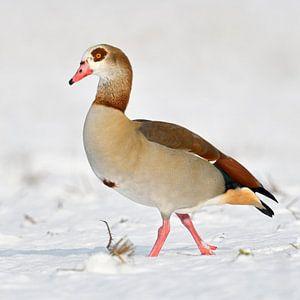 Nilgans (Alopochen aegyptiacus) im Winter, läuft durch Schnee, wildlife, Europa.