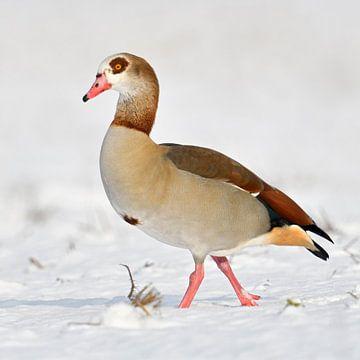 Nijlgans (Alopochen aegyptiacus) in de winter, die door sneeuw, wild, Europa loopt. van wunderbare Erde