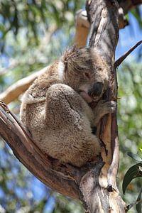 Koala (Phascolarctos cinereus)