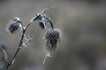 Verdorde grijze distelbloemen met gele aren tegen een vage achtergrond, natuur wabi sabi concept, sy van Maren Winter