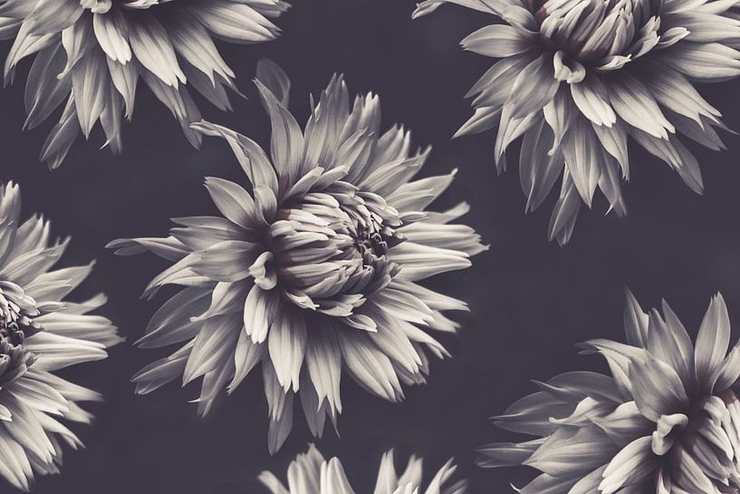 Monochrome Dahlias van Marina de Wit