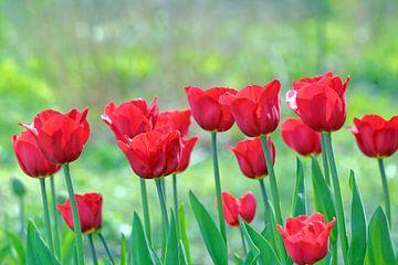 Leuchtend rote Tulpen von Ronald Smits