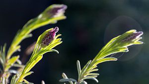 Lavendel Closeup van Samantha Schoenmakers