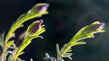 Lavendel Nahaufnahme von Samantha Schoenmakers