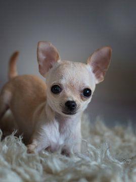 chihuahua puppy van emmie van der knokke