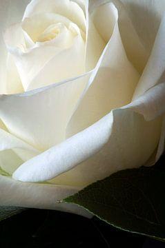 Witte roos van Margot van den Berg