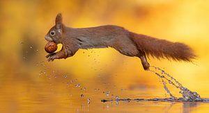 Eekhoorn springt over het water