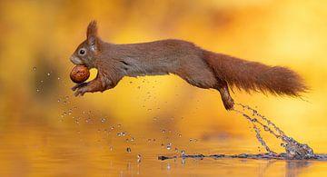 Eekhoorn springt over het water van Dick van Duijn