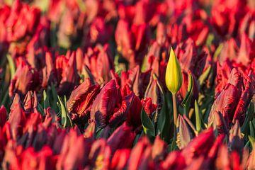 Gele tulp in veld met bijzondere rode tulpen