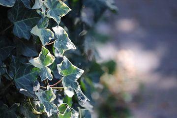Bladeren klimop van Marilla van der Knoop