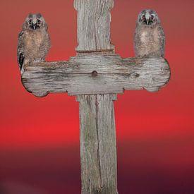Zwei junge Ran Eulen auf einem Holzkreuz von AGAMI Photo Agency