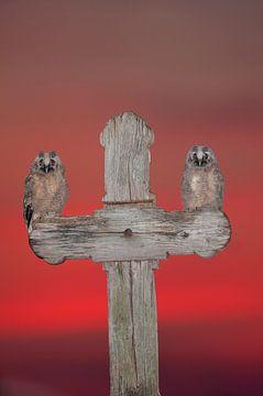 Twee jonge Ransuilen op een houten kruis van AGAMI Photo Agency