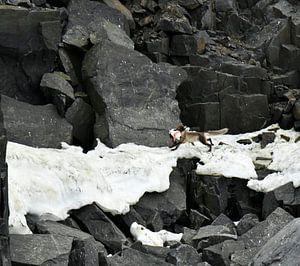 Polarfuchs mit Beute von Senne Koetsier