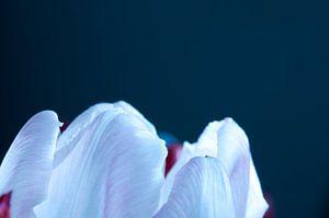 Top van een tulp van Anita van Hengel