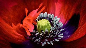 Papaver ladybird van Sran Vld Fotografie