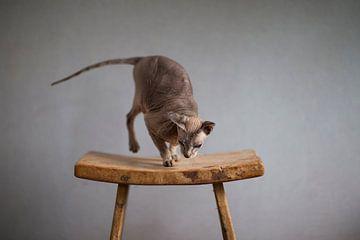 Russische Peterbald-Mausi von Janine Bekker Photography