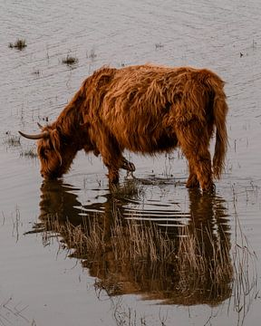 Schotse hooglander drinkt water isolement van Bas Marijnissen