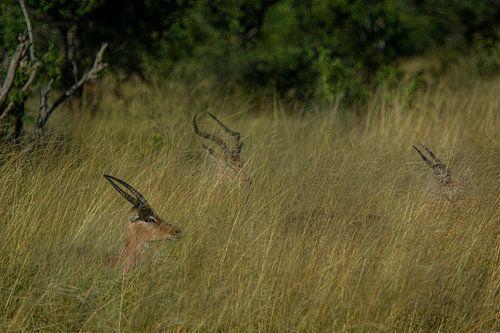 Impalas durch das hohe Gras von Laura Sanchez