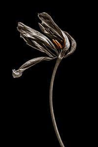 Getrocknete Tulpe