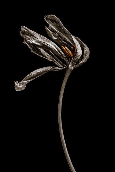 Getrocknete Tulpe von Steffen Sebastian Schäfer