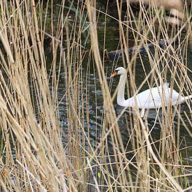 Witte zwaan gezien door riet van Rosalie Broerze