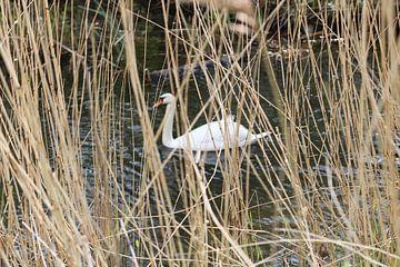 Witte zwaan gezien door riet