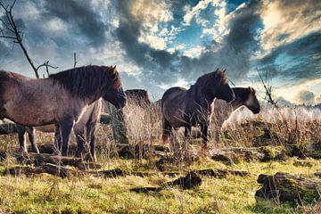Konikpaarden Oostvaardersplassen van Fotojeanique .