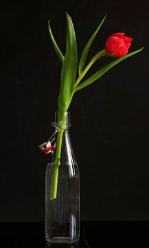 Gefüllte Tulpe von Anette Jäger