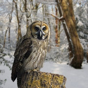 great-grey-owl-hybrid-snow van H.m. Soetens