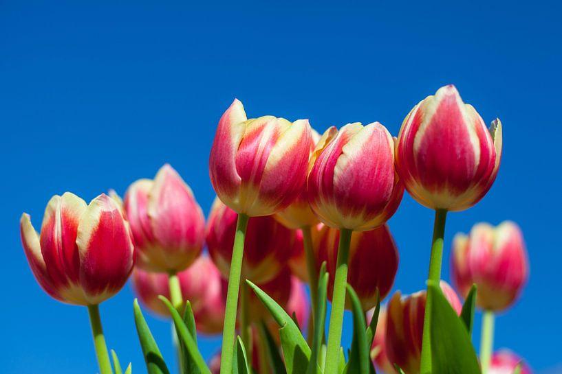 Tulpen van Elly Damen