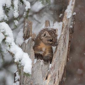 Martre arboricole / martre d'Amérique ( Martes americana ) en hiver, faune, PN de Yellowstone, USA.  sur wunderbare Erde