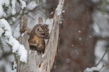 Boommarters / sparrenmarters ( Martes americana ) in de winter, wilde dieren, Yellowstone NP, USA. G van wunderbare Erde