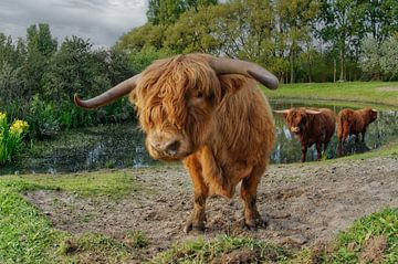 Schottische Highlander von Tilly Meijer
