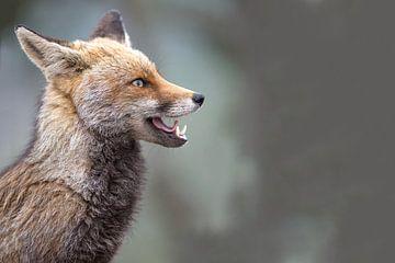 karakterportret van een vos von Kris Hermans