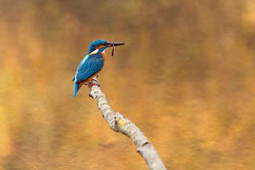 Kingfisher sur Eelke Cooiman