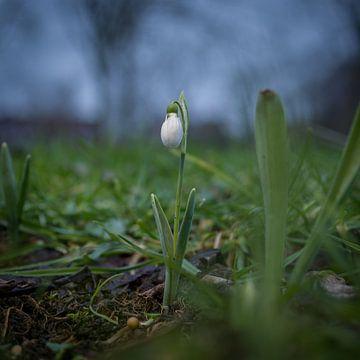 Sneeuwklokje van Rossum-Fotografie