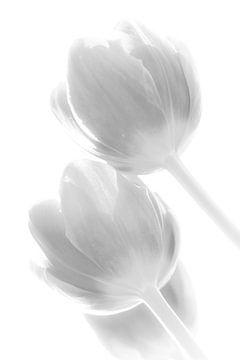 Tulp in tegenlicht 4 van