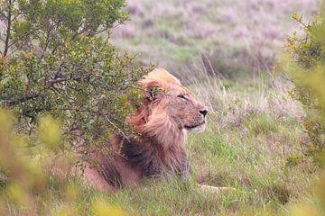 'Leeuw in de wind.' van Capture the Moment 010