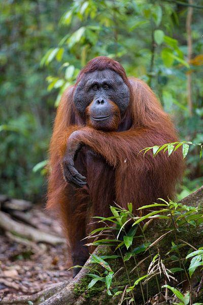 Borneose Oran-oetan (Pongo pygmaeus) portret van Nature in Stock