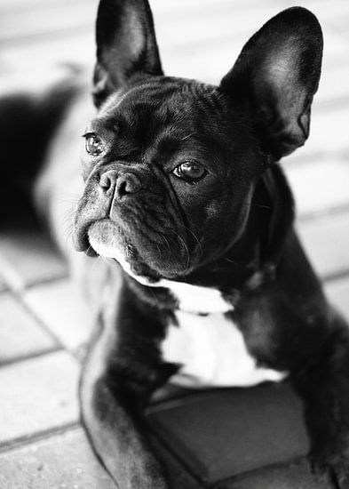Franse Bulldog zwart-wit beeld