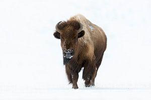 Amerikanischer Bison ( Bison bison ) im Winter, läuft auf den Fotografen zu, direkter Blickkontakt,