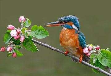 Ijsvogel tussen appelbloesem van Gejo Wassink