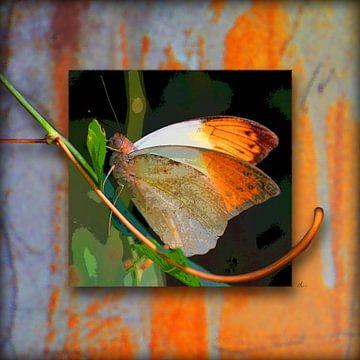 Vlinder | Grote Aurora vlinder van Dirk H. Wendt