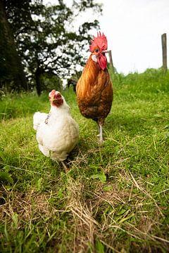 Hühner und Hahn in freier Wildbahn von Roland de Zeeuw fotografie