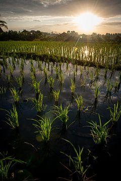 Nieuwe rijst in Ubud van Ellis Peeters