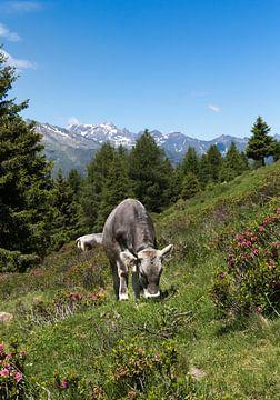 Grazende koe op de Hirzer van Martina Weidner