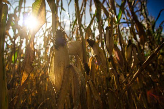 Vlak voor de oogst