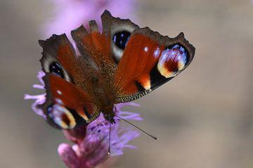 Vlinder op paarse bloem van Rene Mensen