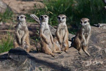 Veel stokstaartjes verzamelden zich voor een vergadering. Schattige Afrikaanse dieren stokstaartjes  van Michael Semenov