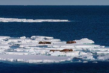 Eisscholle mit Walross von Merijn Loch